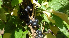 Black Currant Photo Download