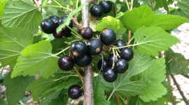 Black Currant Photo Free
