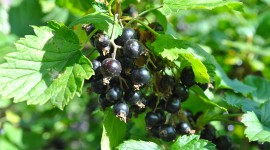 Black Currant Wallpaper