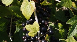 Black Currant Wallpaper For IPhone