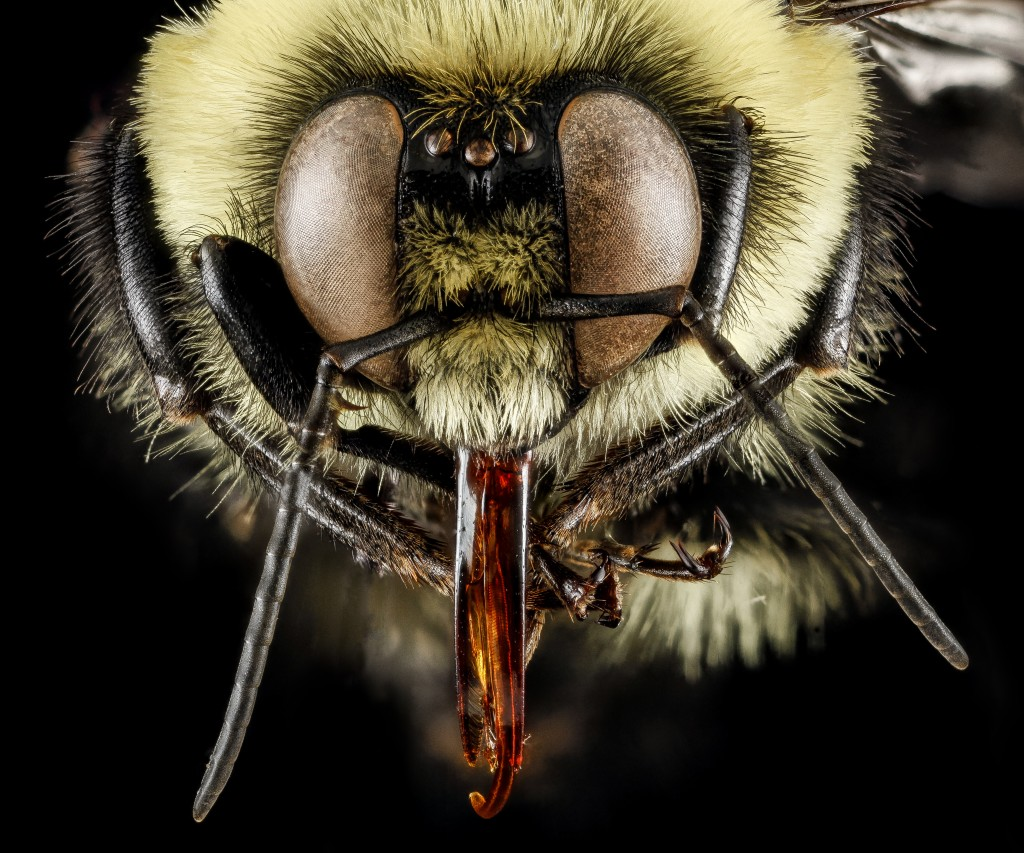 Bombus wallpapers HD