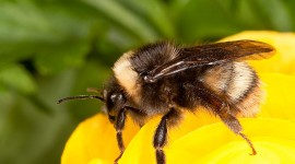 Bombus Wallpaper For Android