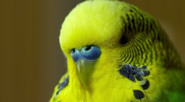 Budgerigar Best Wallpaper