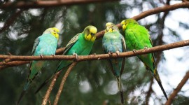 Budgerigar Wallpaper 1080p