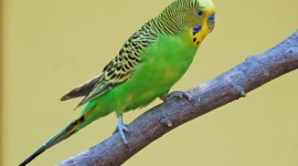 Budgerigar Wallpaper Background