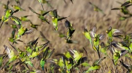 Budgerigar Wallpaper Download Free