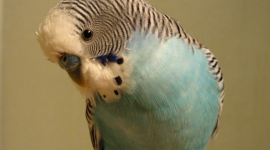 Budgerigar Wallpaper For IPhone
