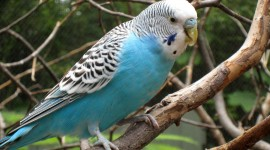 Budgerigar Wallpaper For PC