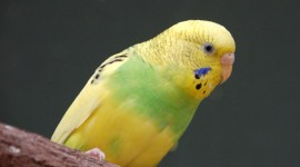 Budgerigar Wallpaper Free