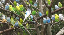 Budgerigar Wallpaper Gallery