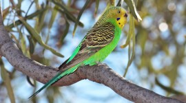 Budgerigar Wallpaper HQ