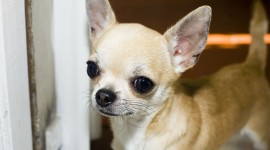 Chihuahua Wallpaper Download Free