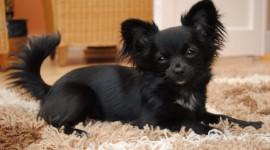 Chihuahua Wallpaper Full HD