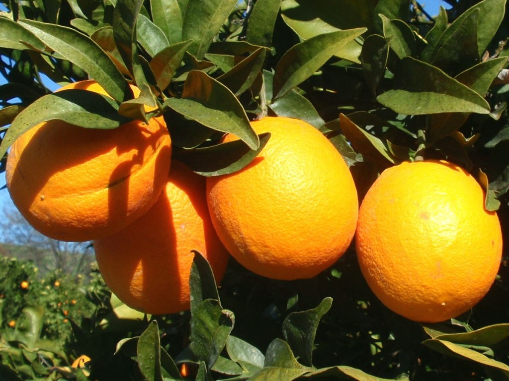 Citrus Sinensis wallpapers HD