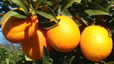 Citrus Sinensis wallpapers high quality