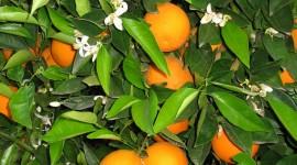 Citrus Sinensis Wallpaper For Android