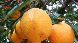 Citrus Sinensis Wallpaper For Desktop