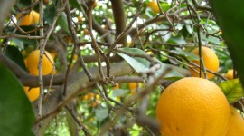 Citrus Sinensis Wallpaper Free