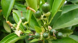 Citrus Sinensis Wallpaper Gallery