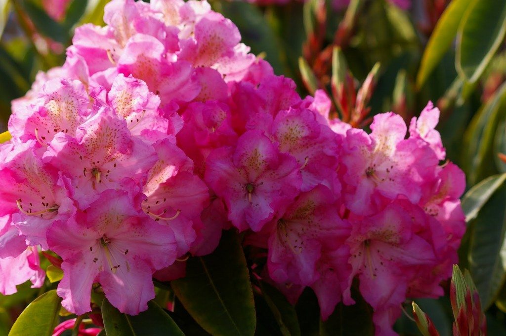 Coast Rhododendron wallpapers HD