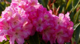 Coast Rhododendron Best Wallpaper