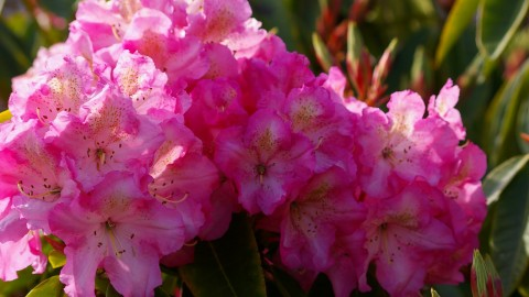 Coast Rhododendron wallpapers high quality