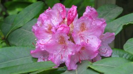 Coast Rhododendron Photo#1