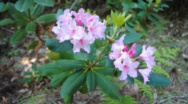 Coast Rhododendron Wallpaper Download