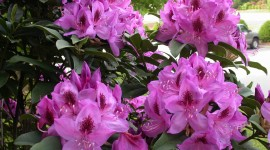 Coast Rhododendron Wallpaper Full HD