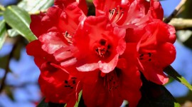 Coast Rhododendron Wallpaper Gallery