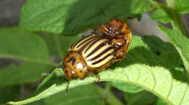 Colorado Beetle Wallpaper Gallery