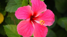 Hawaiian Hibiscus Best Wallpaper