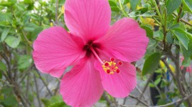 Hawaiian Hibiscus Desktop Wallpaper For PC