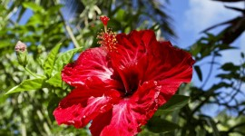 Hawaiian Hibiscus Photo Download