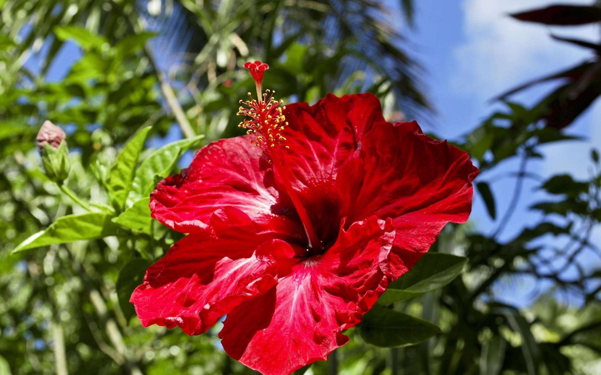 Hawaiian hibiscus wallpapers high quality download free - Hibiscus images download ...