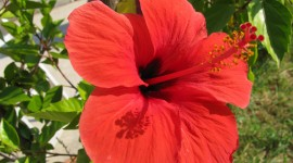 Hawaiian Hibiscus Photo Free#1