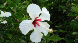 Hawaiian Hibiscus Wallpaper