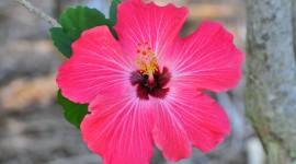 Hawaiian Hibiscus Wallpaper Free