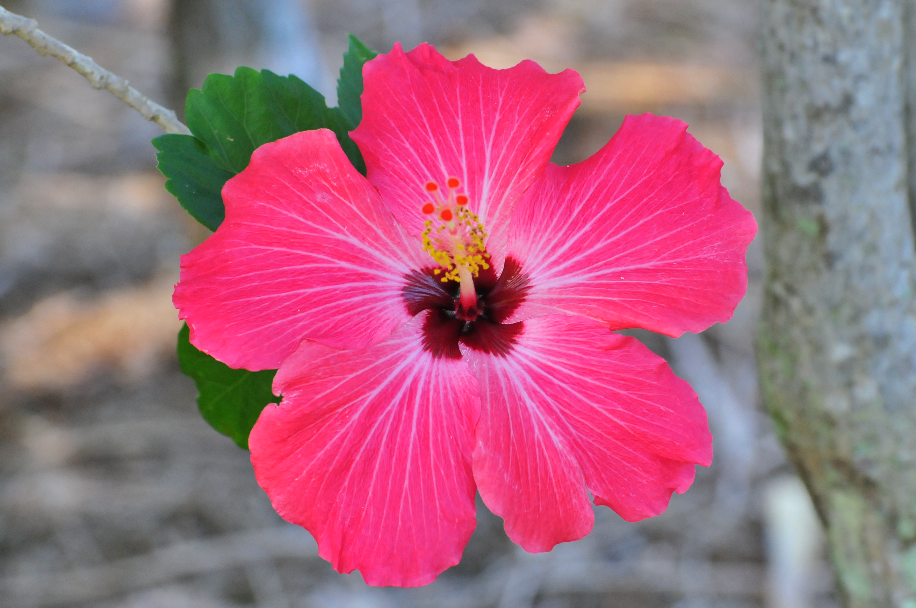 Hawaiian Hibiscus Wallpapers High Quality Download Free