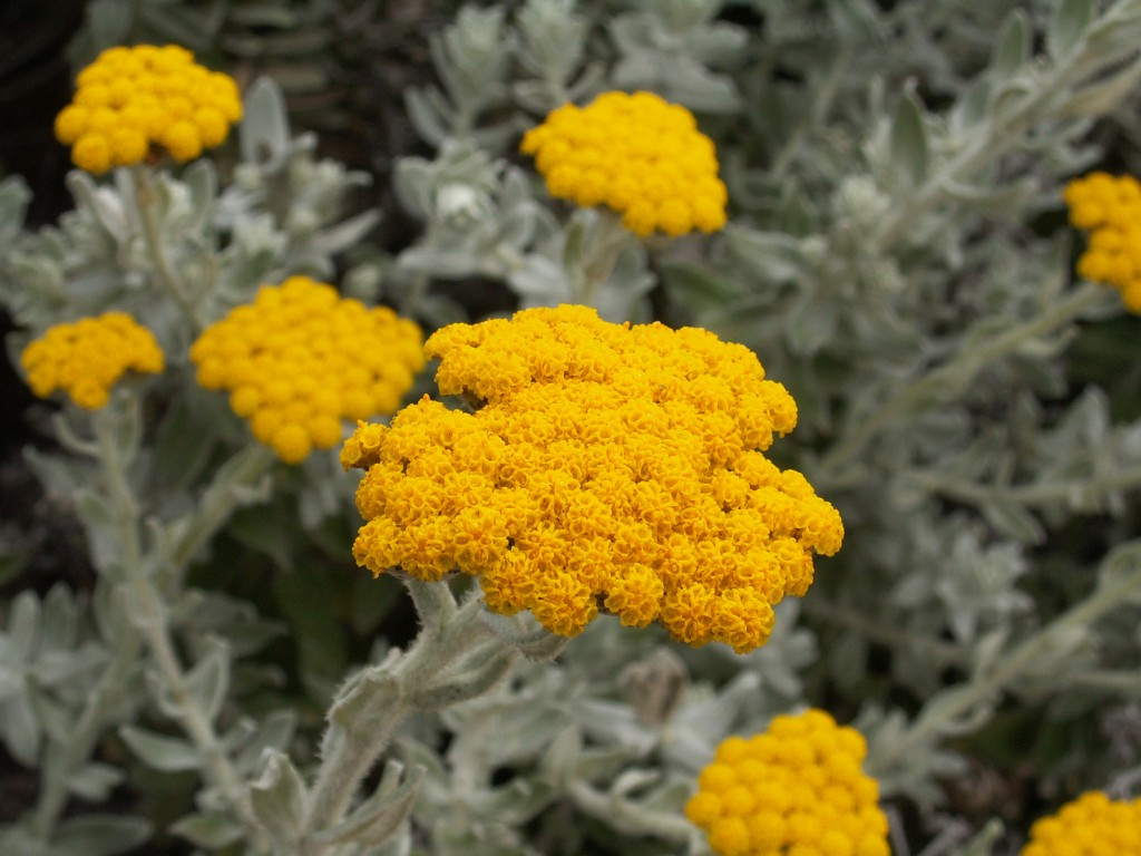 Helichrysum Arenarium wallpapers HD