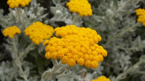Helichrysum Arenarium wallpapers high quality