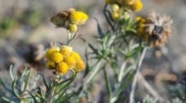 Helichrysum Arenarium Photo