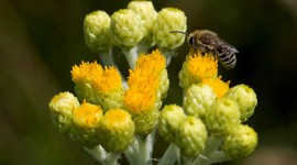 Helichrysum Arenarium Photo Download