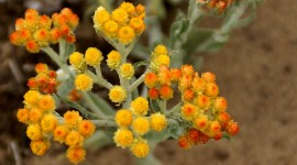 Helichrysum Arenarium Photo Download#1