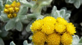Helichrysum Arenarium Wallpaper For Android