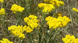 Helichrysum Arenarium Wallpaper For Mobile