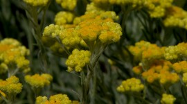 Helichrysum Arenarium Wallpaper For Mobile#1