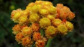 Helichrysum Arenarium Wallpaper Gallery