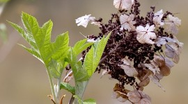 Hydrangea Quercifolia Photo Free