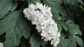 Hydrangea Quercifolia Photo Free#1